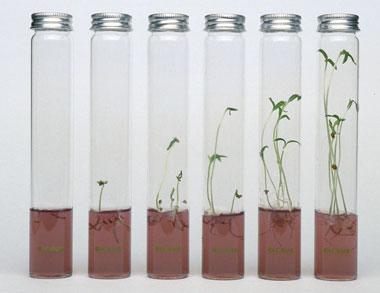 Pflanzen - Kr�uter - Miniplants im Reagenzglas