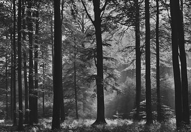 Fototapete schwarz weiß wald  Fototapete WALD SCHWARZ WEIß - Fototapeten präsentiert von Klang ...