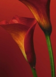 FOTOTAPETE - RED CALLA LILIES