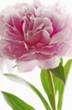 FOTOTAPETE - RIESENPOSTER - BLUME - PINK PEONY